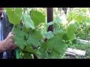Как посадить виноград.Опыт С В Ксенофонтова Сайт Садовый мир