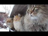Siberian cats, Snowfall,Сибирские кошки, Снегопад,Tyoma, Solnyshko (Sunny), Pooh ,