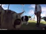 Кот по кличке Бумер знакомится и играет с собаками на собачьей выставке