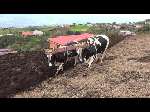 Pacayas busca arado de bueyes como técnica ambiental (Nov 11/14).
