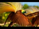 Greater bird-of-paradise / Большая райская птица / Paradisaea apoda