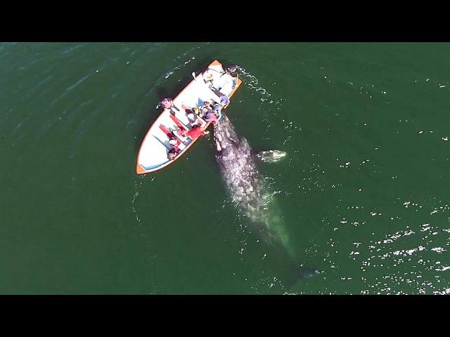 Самка серого кита с детёнышем позволила людям к ним прикоснуться