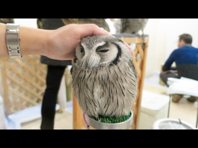 Cute Owls EVERYWHERE at Japan's Owl Cafe!