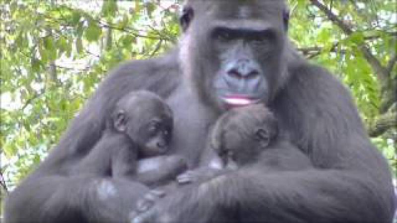 Gorillatwin @Burgers' Zoo 23 October 2013 - part 1