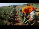 Путешествие по плантациям Компании FOREVER