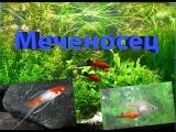 Аквариумная рыбка Меченосец /Aquarium fish swordsman