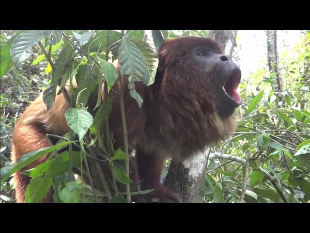 Death Metal Howler Monkey | Metal Injection
