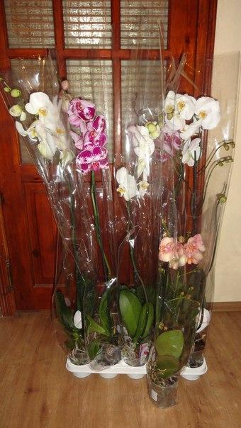 уход за орхидеей фаленопсис после цветения в домашних условиях видео