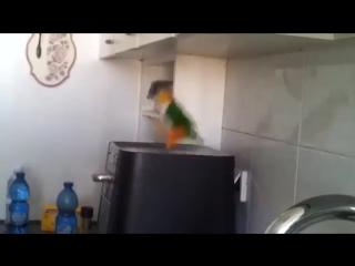 Ирландский танец попугая