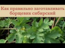 Как правильно заготавливать борщевик сибирский