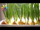 Как собрать максимальный урожай лука у себя на подоконнике Все буде добре Выпуск 781 от 28 03 16