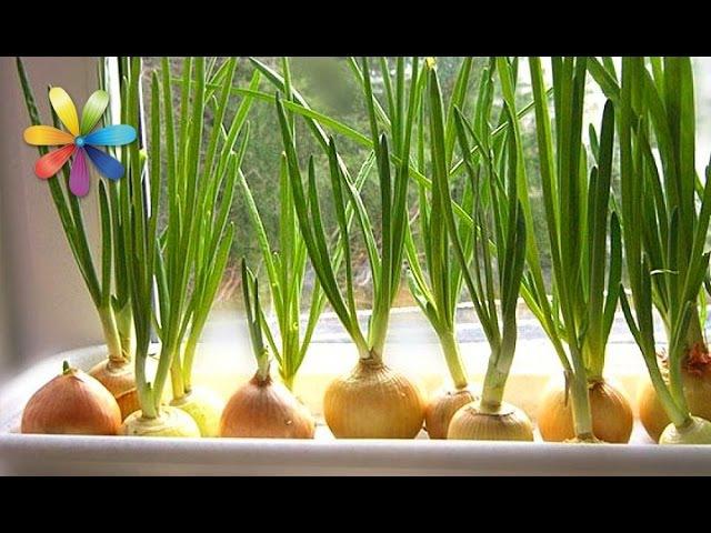 Как собрать максимальный урожай лука у себя на подоконнике – Все буде добре. Выпуск 781 от 28.03.16