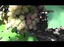 Сорт винограда Юбилей Херсонского Дачника Виноград 2014