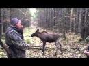 Охота на зайца с лосём