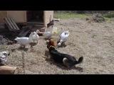 Петушино-собачий бой.... и гусе-зрители)