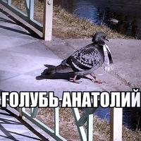 картинка голубь анатолий прибывшие страну