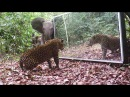 Elephants family VS a Leopard refusing to share his Mirror in the Jungle Gabon Equatorial Africa