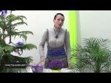 Кампанула уход в домашних условиях Цветок жених и невеста