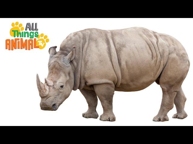 RHINO: Animals for children. Kids videos. Kindergarten   Preschool learning