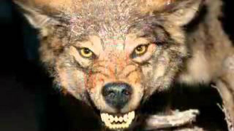 Хорошая песня , о волках!
