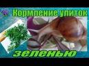 Кормление гигантских африканских улитка ахатин Achatina зеленью