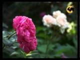 Розы в Саду. серия 14. Уход за розами летом