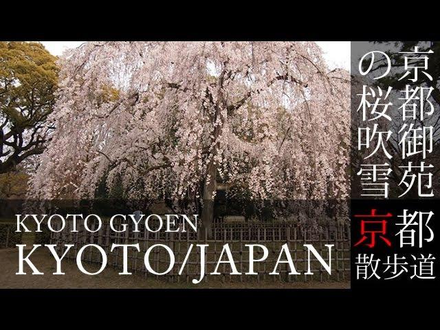 2016年3月30 京都観光 京都御苑(御所)の桜吹雪(Cherry blossoms of Kyoto-Gyoen in Kyoto,Japan)作業用BGMで日本26
