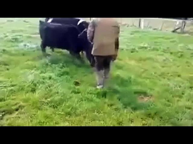 Korova_zashishaet_telenka_yapfiles.ru - Видео Dailymotion