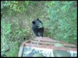 Black Bear climbs up a tree stand-