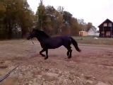 Арабо-рысак. Лошади на продажу