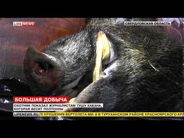 На Урале охотнику удалось завалить гигантского кабана весом в полтонны