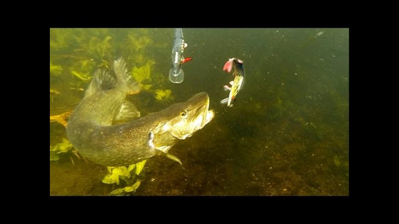 50 best pike attacks underwater 2015. Fishing wt lures. Рыбалка щука атака под водой.