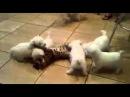 Прикол с животными!Злые собаки едят кота!!