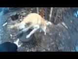 Мой собака Рой выполняет команду Ап как тигры на арене