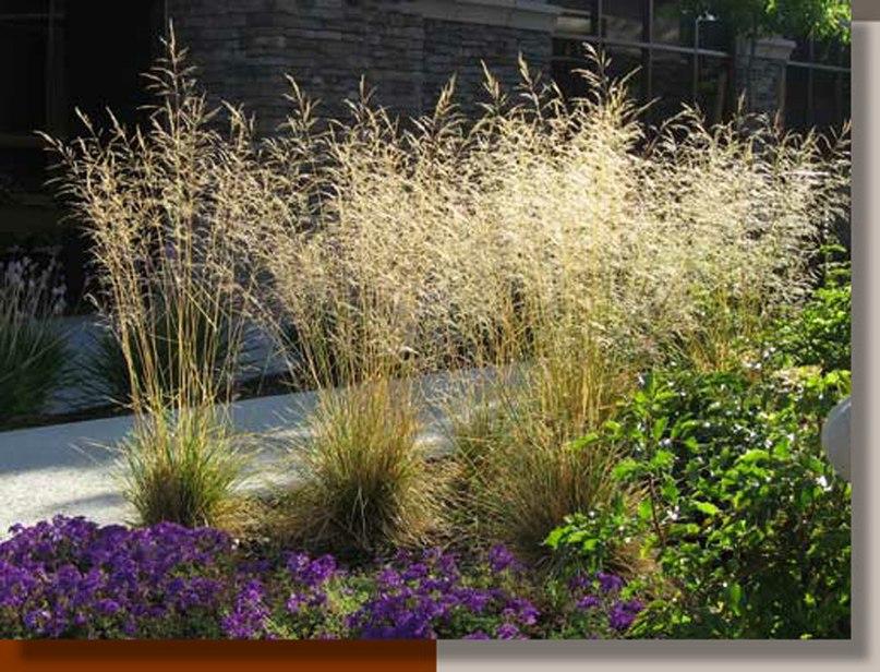 Злаки для клумбы непрерывного цветения-луговик дернистый