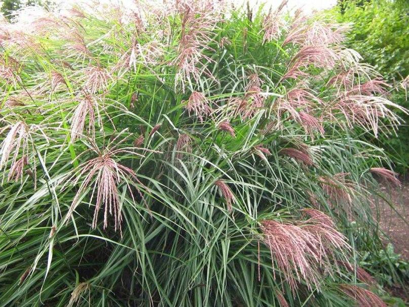 Злаки для клумбы непрерывного цветения-мискантус китайский