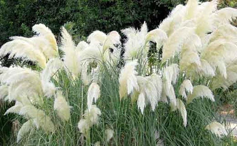 Злаки для клумбы непрерывного цветения-пампасная трава