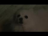 Поющая собака