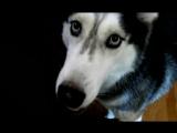 Говорящая собака породы сибирский хаски по кличке Мишка