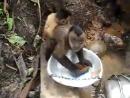 обезьянка моет посуду