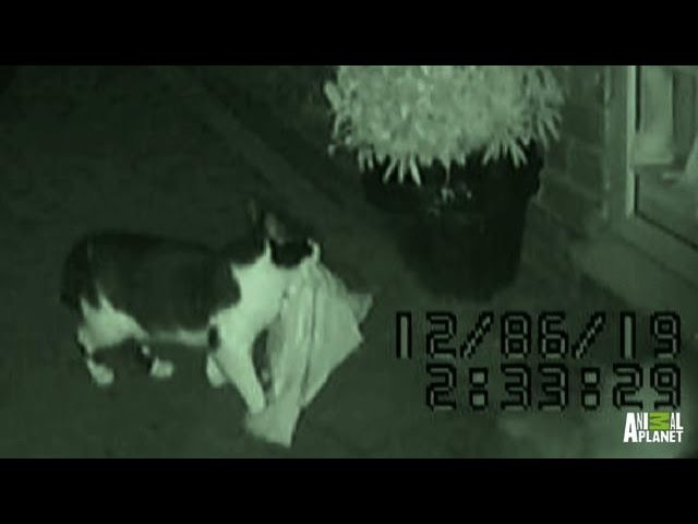 Dennis the Thieving Cat Bad Dog