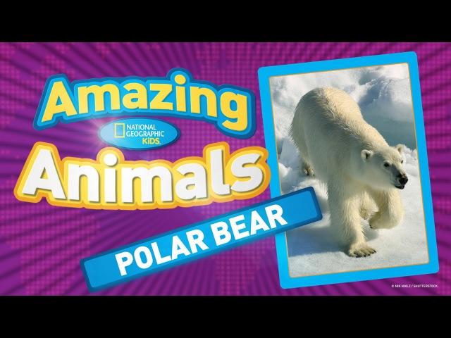 Polar Bear AMAZING ANIMALS