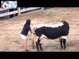 Почему бык не трогает девушку