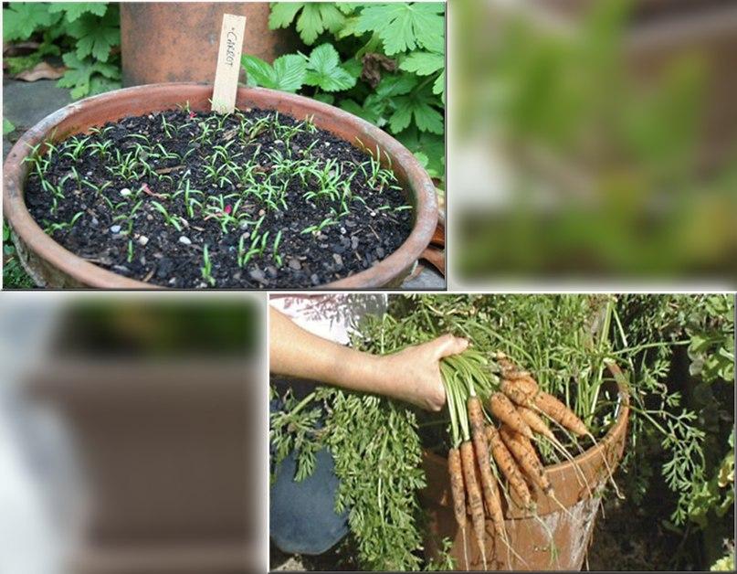 Как вырастить морковь в горшке на подоконнике
