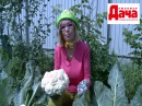 Опыт выращивания цветной капусты