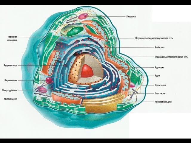 Строение клетки. Строение и функции клетки. Жизнь клетки.