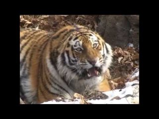 В Приморский Сафари-парк поступил из природы тигр по кличке Тихон