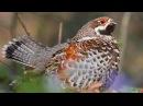 Hazel Grouse Singing male in spring forest Bonasa bonasia