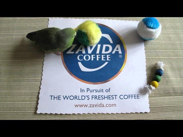 Pickles the Parrotlet Loves Zavida Coffee! [Funny] » Freewka.com - Смотреть онлайн в хорощем качестве
