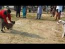 Собачьи бои paigu bullterrier Джеки (гуль терьер) vs питбуль Босс
